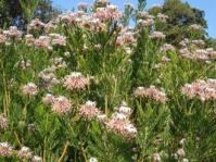 Serruria fucifolia shrub