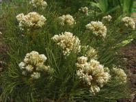Serruria glomerata shrub