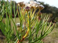 Serruria triternata flowerheads and foliage