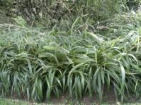 Setaria megaphylla