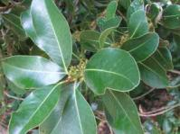 Foliage and flower buds  of Sideroxylon inerme
