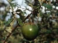 Solanum acueleastrum