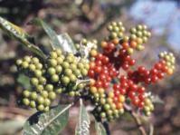 Berries of Solanum giganteum