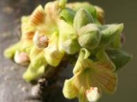 Sterculia rogersii flowers
