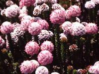 Stoebe rosea