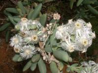 In flower at Kirstenbosch