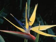 Strelitzia reginae 'Mandela's gold'