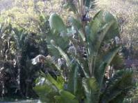 S.nicolai