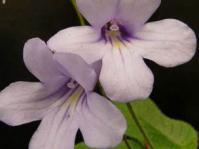 Streptocarpus modestus flowers
