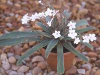 Streptocarpus kentaniensis