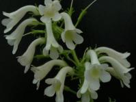 Streptocarpus vandeleuri