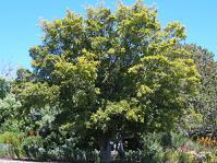 Strychnos decussata growing in Kirstenbosch NBG