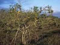 Strychnos madagascariensis tree