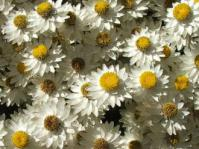 Syncarpha argyropsis flowers