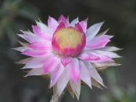 Fresh everlasting flowerhead.  Image G.A. Verboom