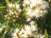 Flowers of Syzygium pondoense