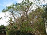 Tabernaemontana elegans tree