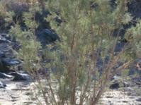 Tamarix usneoides tree © Henry Brisse