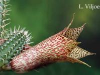 Tavaresia flower. Copyright: L. Viljoen