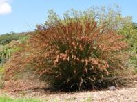 Thamnochortus insignis, male plant.