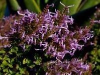 Thorncroftia succulenta shrub