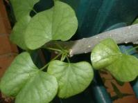 Tinospora fragosa