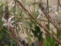 Trachyandra ciliata flowering stalks