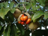 Trichilia emtica fruits.Photo Geoff Nichols