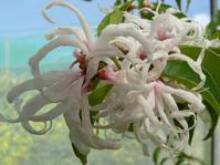 Trichocladus grandiflorus flower