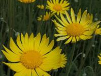 Ursinia abrotanifolia flower heads