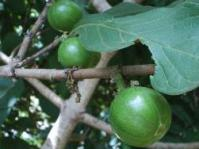 Green fruits of Vangueria infausta: Photo: T Basson