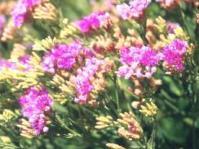 Linzia glabra
