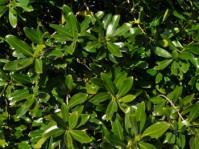 Warburgia salutaris