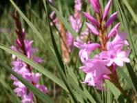 Watsonia canaliculata growing in KZN Botanical Garden