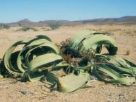Welwitschia mirabilis in habitat (Ernst van Jaarsveld)
