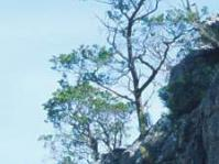 Widdringtonia cedarbergensis in habitat