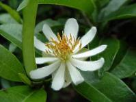 Male flower X. kraussiana  © Geoff Nichols