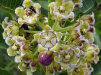 Xysmalobium undulatum flowers