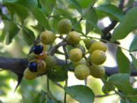 Fruit of Zanthoxylum capense