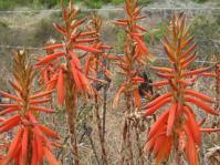 Aloe brevifolia var. brevifolia