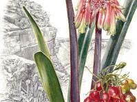 Clivia mirabilis