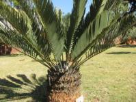 Encephalartos eugene-maraisii