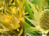 Male and female flower heads