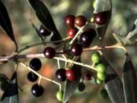 Fruits of Olea europaea subsp, africana