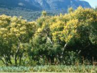 Peltophorum africanum in Kirstenbosch