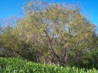 Salix mucronata