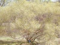 Searsia erosa tree
