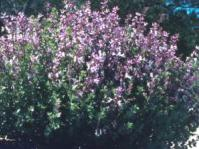 Syncolostemon transvaalensis bush in flower
