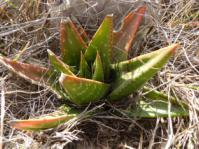 Gasteria nitida growing in natural habitat, east of Bathurst, E.Cape