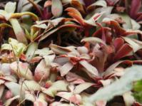 Crassula orbicularis leaves